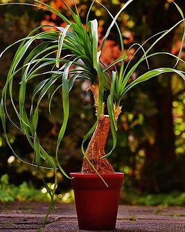 Beaucarnea-plant-1733084_640_edited.jpg