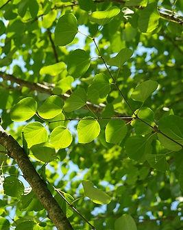 Cercidiphyllum.jpg