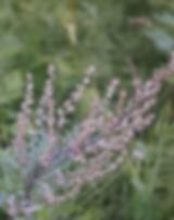 Artemisia-170811_640.jpg
