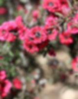 leptospermum-tree-albero-del-the
