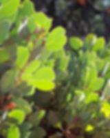 Arctostaphylos-2968257_640.jpg