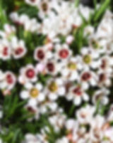 Chamelaucium.jpg