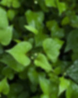 houttuynia-cordata-839047_640.jpg