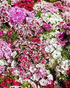 Dianthus-garofano.jpg