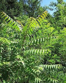ailanthus-altissima-844410_640.jpg
