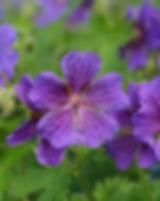 geranium-141463_640.jpg
