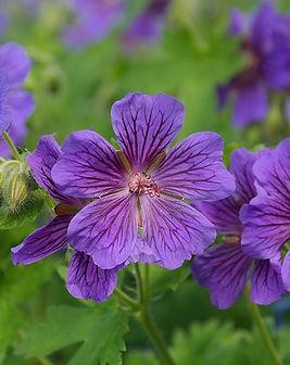 geranium-geranio.jpg