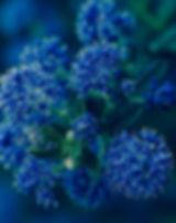 Ceanothus-3999917_640_edited.jpg