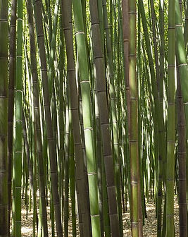 bamboo-Phylostachys-bambù.jpg