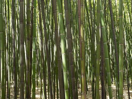 bamboo Phylostachys -3570972_640.jpg