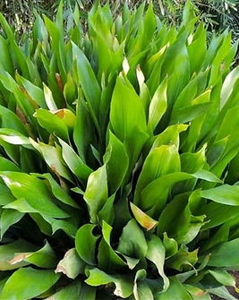 pianta-aspidistra-elatior-vaso-7cm_edite