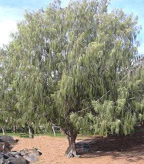casuarina_equisetifolia.jpg