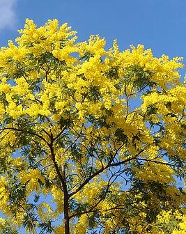 Acacia-3274285_640.jpg