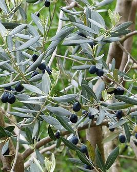 olives-357852_640.jpg