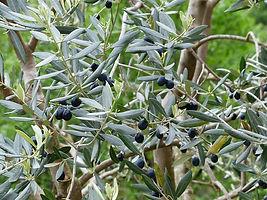olives-olivo.jpg