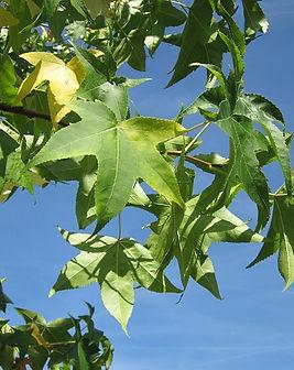 liquidambar-albero-dell'ambra.jpg