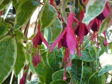 Fuchsia variegata (tom west).JPG
