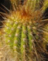 trichocereus.jpg