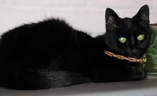Great Collars for Cats Felines a Black Cat for Halloween