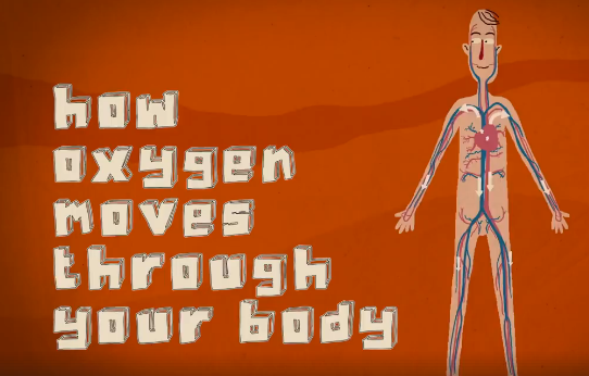 How oxygen moves through your body
