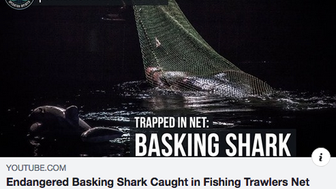 Endangered Basking Shark Caught in Fishing Trawlers Net