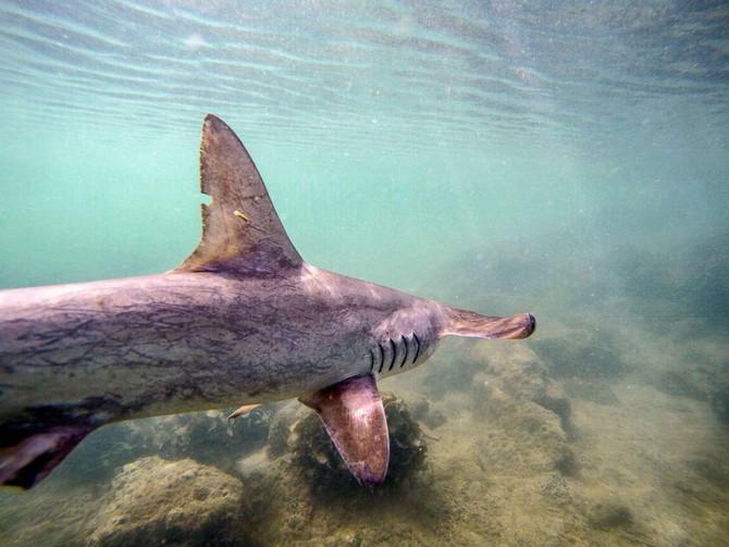 Rare hammerhead shark nursery discovered in the Galapagos