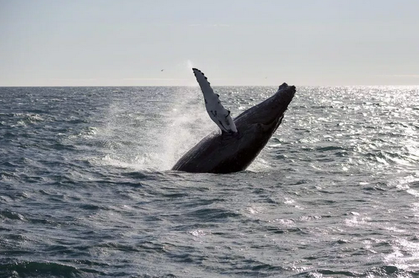 For The First Time In 17 Years: Iceland Will Not Hunt Any Whales This Summer