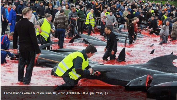 Gruesome pic shows mass slaughter of whales in Faroe Islands hunt