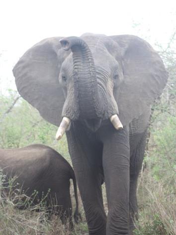 Elephant interactions