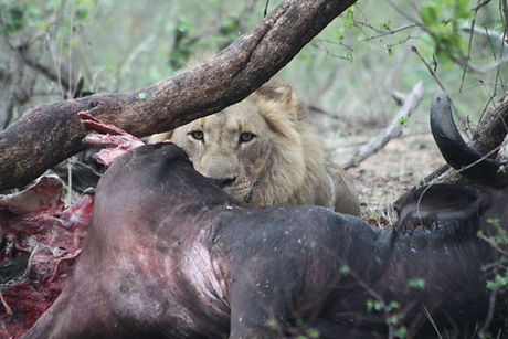 Lion with buffalo south africa.jpg