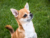 chihuahua-1356687_1280.jpg