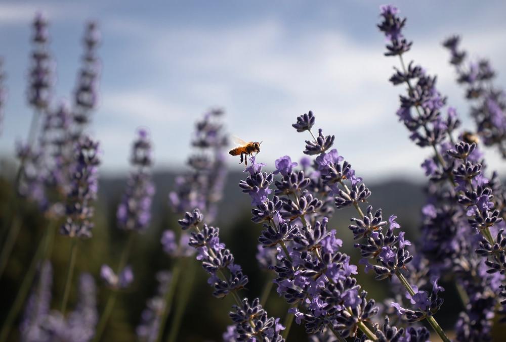 Honeybee lavender scenic bee flower foraging