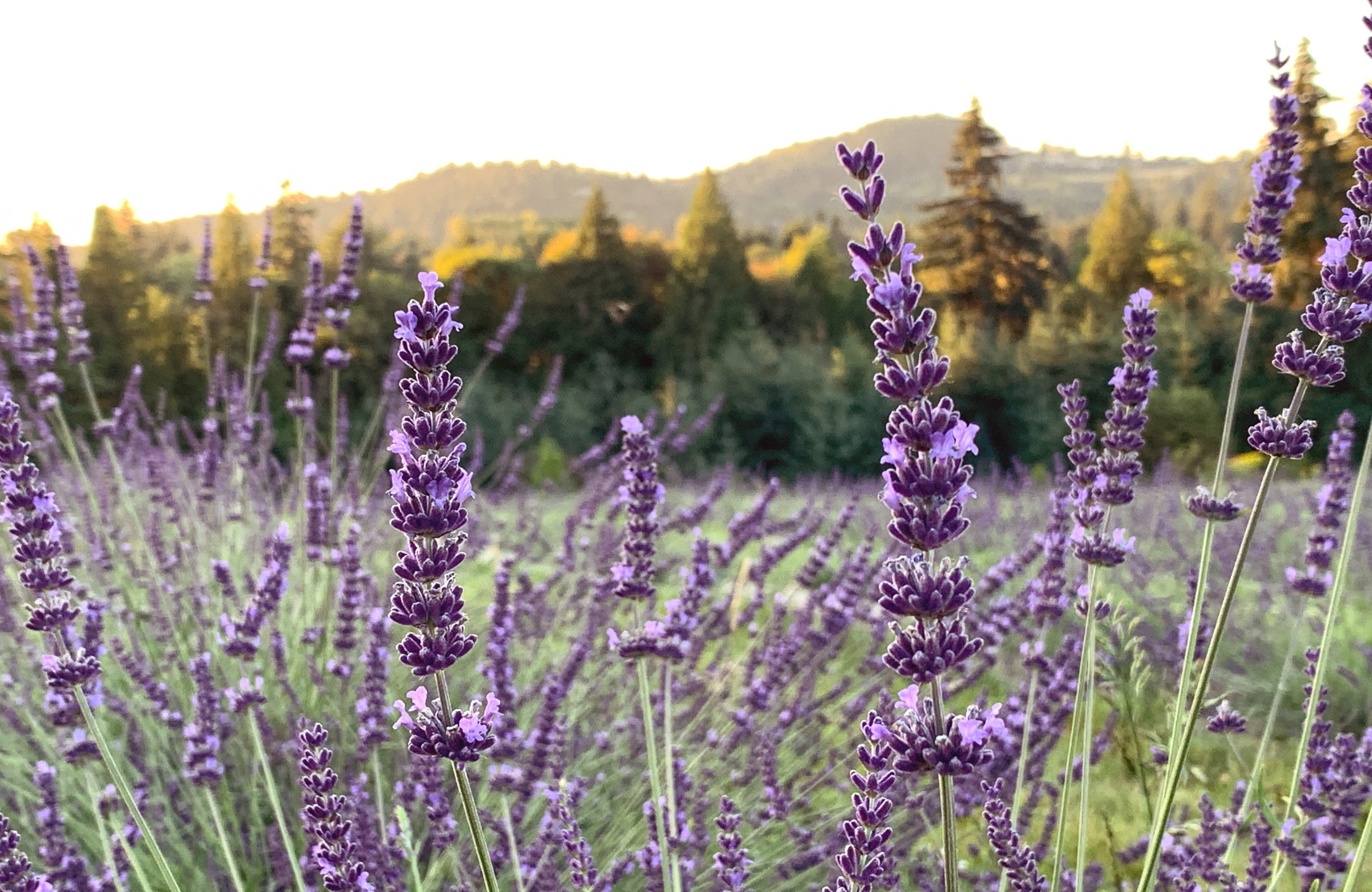 Lavender Field Photography Reservation