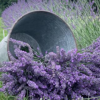 Vintage Bucket Lavender.JPG