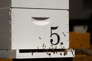 Honey Bees.JPG