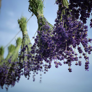 Hanging Lavender Drying.JPG