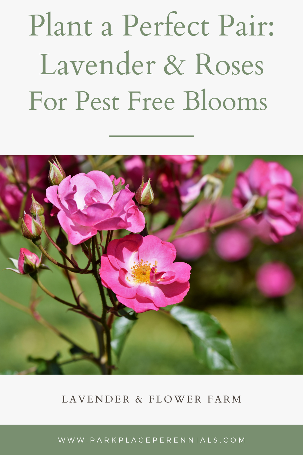 Lavender and Roses Companion Plants Pest Free Blooms