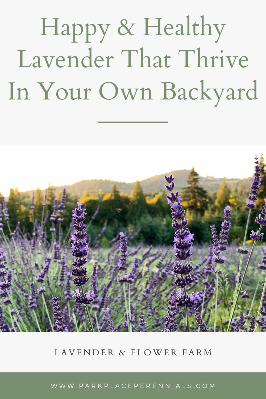 lavender field blooming flowers purple hills growing lavender farm