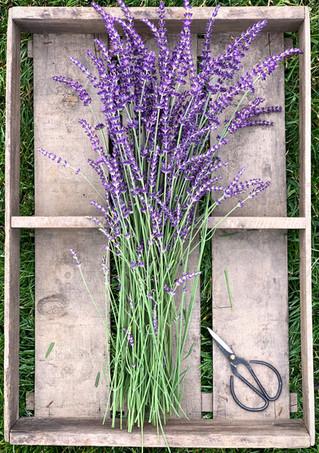Rustic Lavender_cropped.jpg