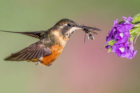 do-hummingbirds-eat-bugs.jpg