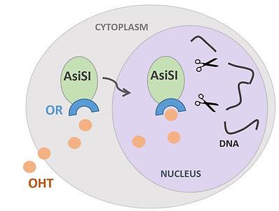 DIVA cells.JPG