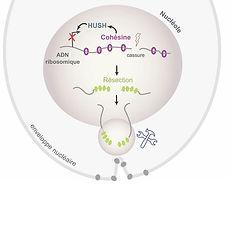 rDNA DSB repair.jpg