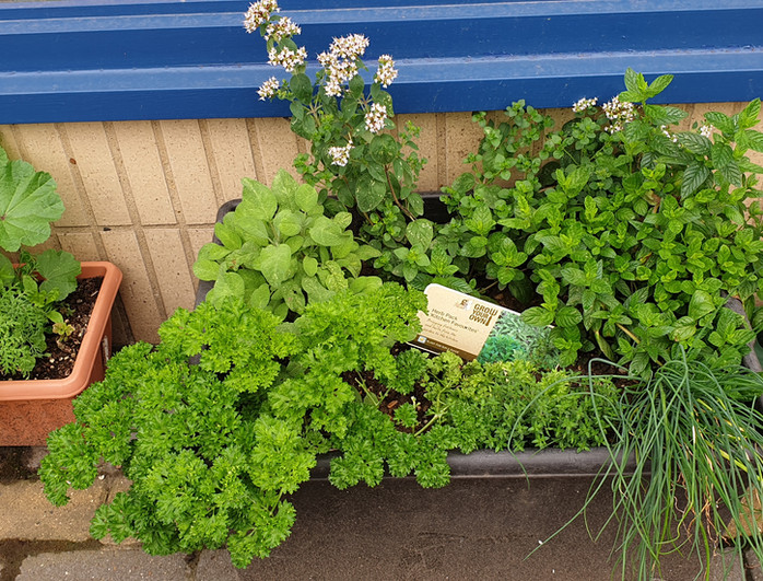 2021 BDN- Website Growing herbs Pics.JPG