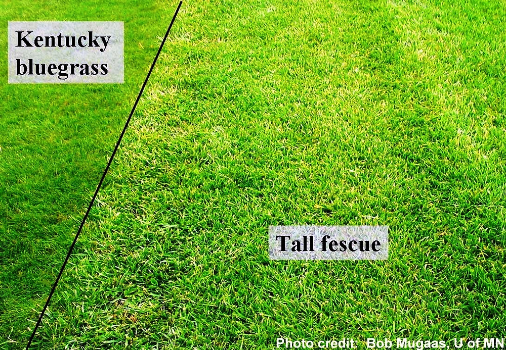 Difference between Kentucky Bluegrass and Tall Fescue