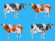 Cow Art On Blue Art Print