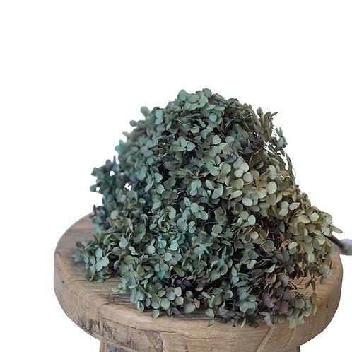 Hydrangea - Gradient