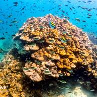 Healthy boulder corals at Pulau Paya Marine Park