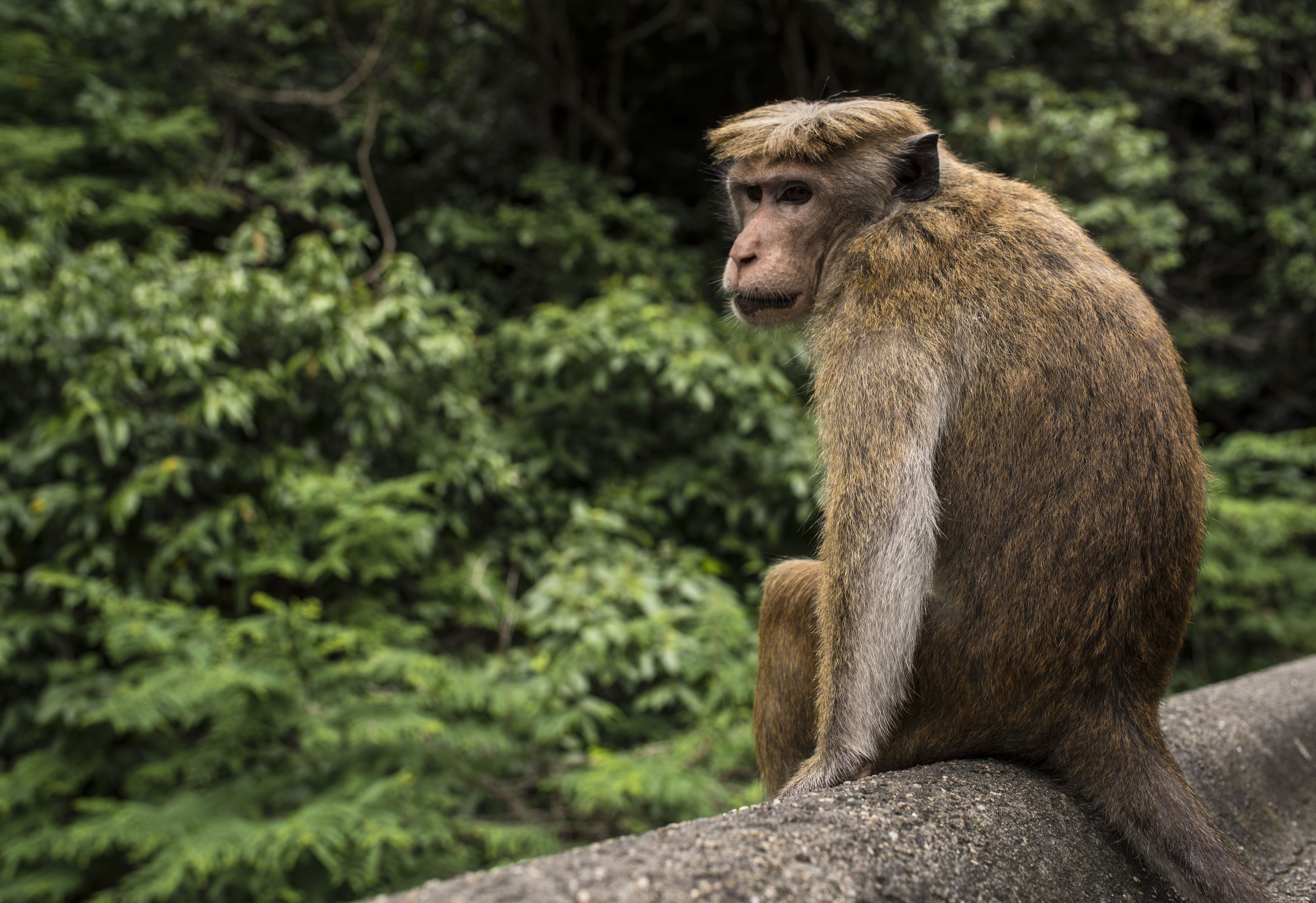 Dambulla Monkey