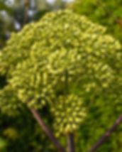 garden-angelica-3505262_640.jpg