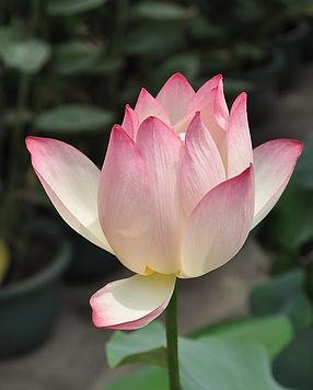 lotus-142028_640.jpg